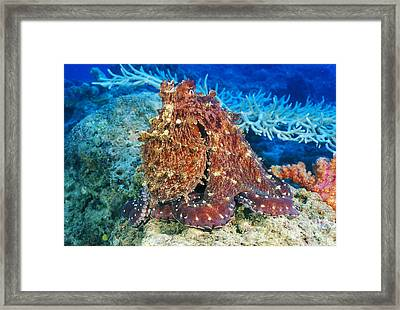 Fiji, Day Octopus Framed Print by Dave Fleetham - Printscapes