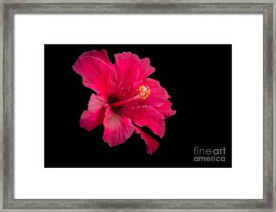Floating  Hibiscus Framed Print by Robert Bales