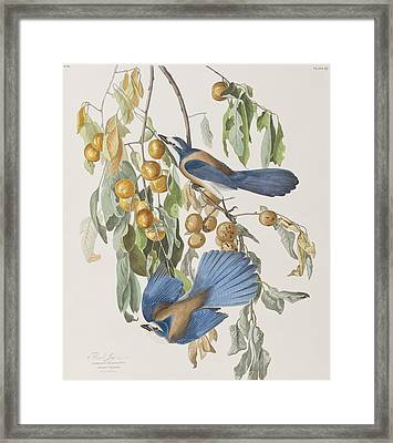 Florida Jay Framed Print by John James Audubon