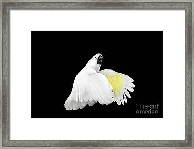 Flying Crested Cockatoo Alba, Umbrella, Indonesia, Isolated On Black Background Framed Print by Sergey Taran