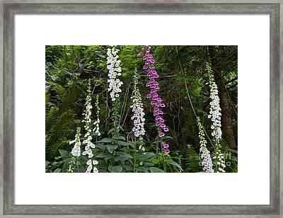 Foxglove Framed Print by Inga Spence