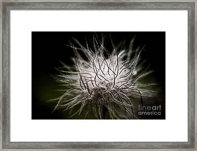 Fuzzy Flower Seedhead Framed Print by Venetta Archer