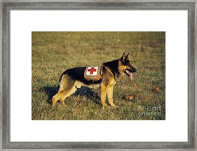 German Shepherd Dog Rescue Dog Framed Print by Gerard Lacz