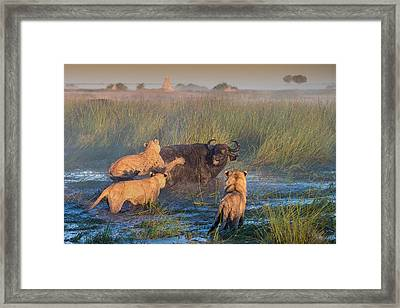 Get Off My Back Framed Print by Giulio Zanni