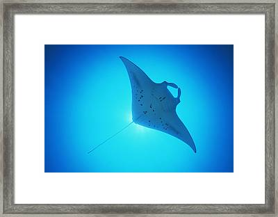 Giant Manta Ray Framed Print by Matthew Oldfield