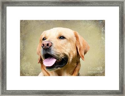 Golden Labrador Framed Print by Stephen Smith