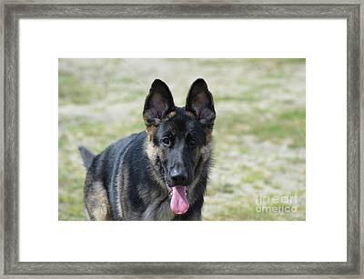 Gorgeous German Shepherd Dog Framed Print by DejaVu Designs