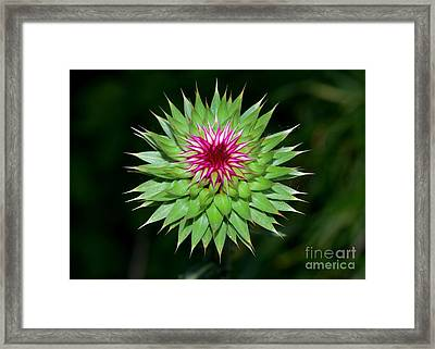 Greater Burdock Framed Print by Igor Aleynikov