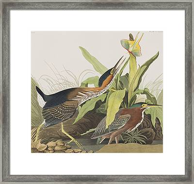 Green Heron Framed Print by John James Audubon