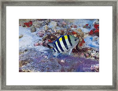 Hawaii, Marine Life Framed Print by Dave Fleetham - Printscapes