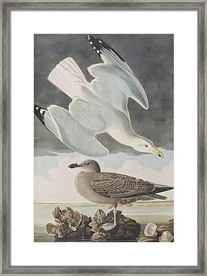 Herring Gull Framed Print by John James Audubon