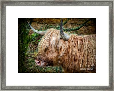 Highland Cow Framed Print by Adrian Evans