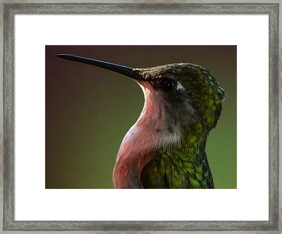 Hummingbird Framed Print by Brian Stevens