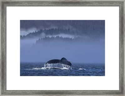 Humpback Whale Lifts Its Fluke Framed Print by John Hyde