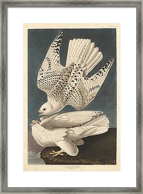 Iceland Or Jer Falcon Framed Print by Mountain Dreams