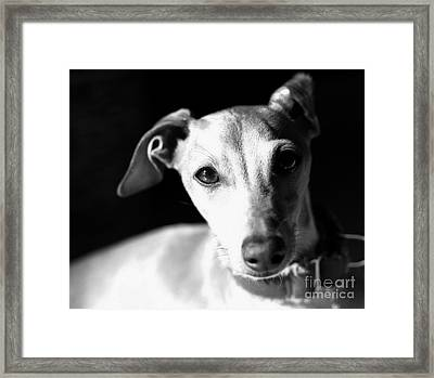 Italian Greyhound Portrait In Black And White Framed Print by Angela Rath
