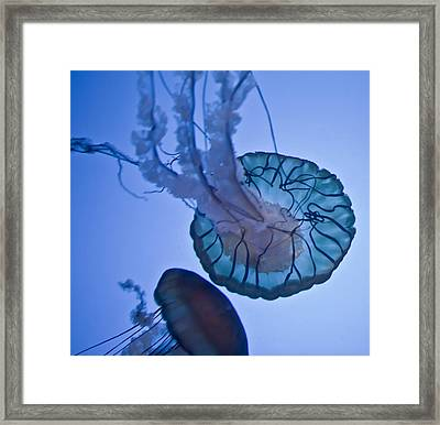 Jelly Fish II Framed Print by James Dricker