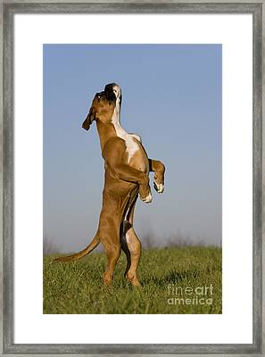 Jumping Boxer Puppy Framed Print by Jean-Louis Klein & Marie-Luce Hubert