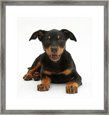 Kelpie Puppy Framed Print by Mark Taylor