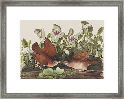 Key West Dove Framed Print by John James Audubon