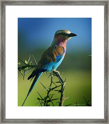 Lilac Breasted Roller Framed Print by Joseph G Holland