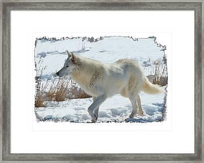 Lone White Wolf Framed Print by OLenaArt Lena Owens