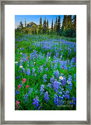 Lupine Cornucopia Framed Print by Inge Johnsson