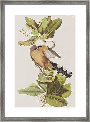 Mangrove Cuckoo Framed Print by John James Audubon