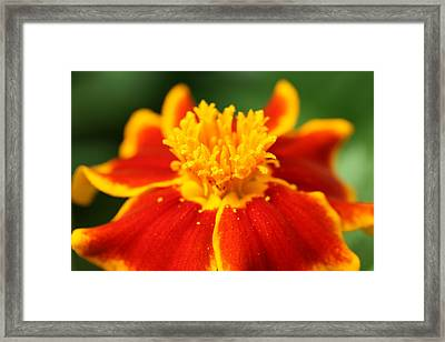 Marigold Framed Print by Mark Severn
