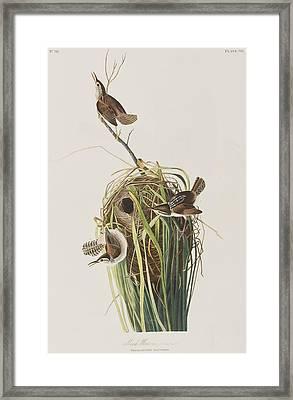 Marsh Wren  Framed Print by John James Audubon