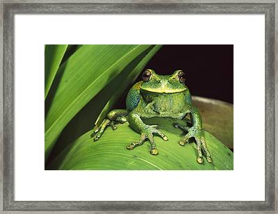 Marsupial Frog Gastrotheca Orophylax Framed Print by Pete Oxford