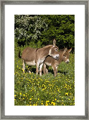 Miniature Donkey And Foal Framed Print by Jean-Louis Klein and Marie-Luce Hubert