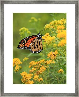 Monarch Butterfly On Goldenrod Framed Print by John Burk