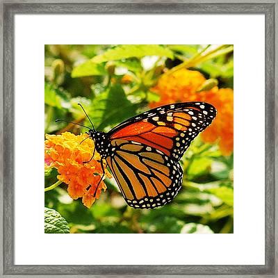Monarch Framed Print by Michael Peychich