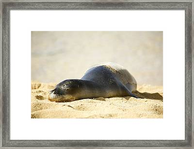Monk Seal Pup Framed Print by Kicka Witte - Printscapes