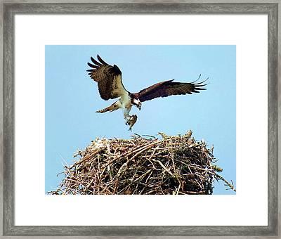 Open Wings Framed Print by Karen Wiles