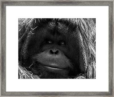 Orangutan Framed Print by Martin Newman