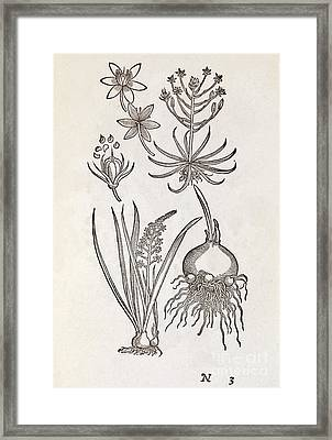 Ornithogalum Plant, 16th Century Framed Print by Middle Temple Library