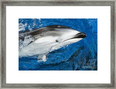 Pacific White-sided Dolphin Framed Print by Dave Fleetham - Printscapes
