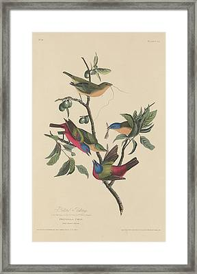 Painted Bunting Framed Print by John James Audubon