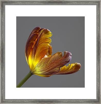Parrot Tulip 21 Framed Print by Robert Ullmann