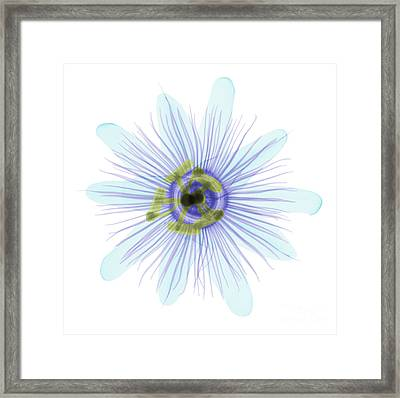 Passion Flower, X-ray Framed Print by Ted Kinsman