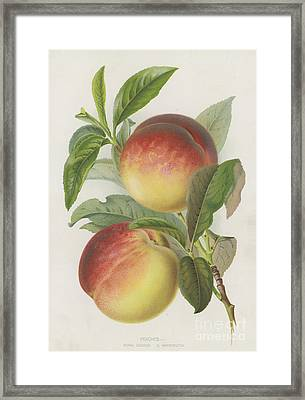 Peaches Framed Print by English School