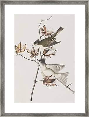 Pewit Flycatcher Framed Print by John James Audubon