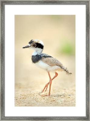 Pied Plover Vanellus Cayanus Chick Framed Print by Panoramic Images