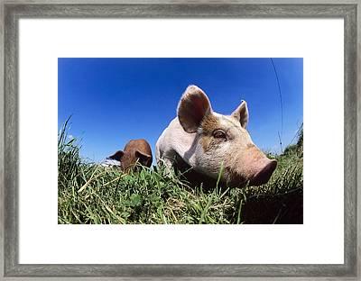 Piglet Framed Print by Jeremy Walker