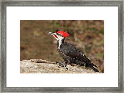 Pileated Woodpecker Framed Print by Mircea Costina Photography