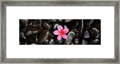 Pink Plumeria Pebbles Framed Print by Sean Davey