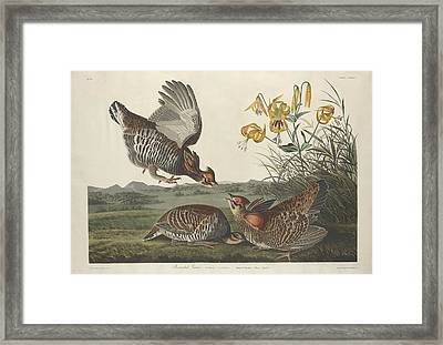 Pinnated Grouse Framed Print by John James Audubon