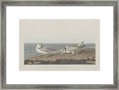 Piping Plover Framed Print by John James Audubon